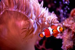 A clown fish in front of an anemone with bubbles behind