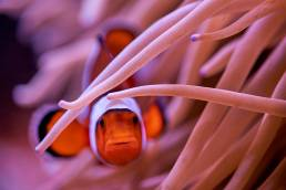 A closeup of a clown fish looking at camera and peering through an anemone