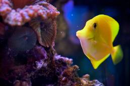 A yellow tank fish in a fish tank
